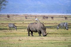 Rhinocéros en parc national de la Tanzanie photos stock