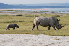 Rhinocéros et chéri Photographie stock