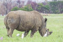 Rhinocéros frôlant dans l'herbe verte images libres de droits