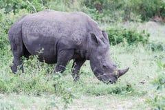 Rhinoc?ros fr?lant dans les buissons verts images libres de droits