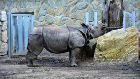 Rhinocéros hurlant dans le ZOO Photos libres de droits