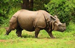 Rhinocéros indien Photos libres de droits