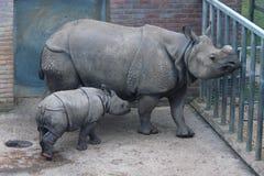 Rhinocéros indien Photo libre de droits