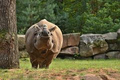 Rhinocéros indien dans la belle nature regardant l'habitat Images stock