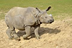Rhinocéros indien marchant sur la terre photographie stock