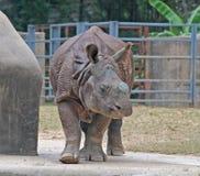 Rhinocéros indien ou plus grand rhinocéros un-à cornes Image libre de droits