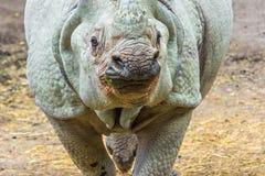 Rhinocéros indien (unicornis de rhinocéros) Photo libre de droits