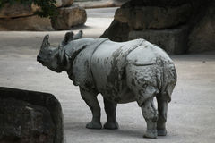 Rhinocéros indien (unicornis de rhinocéros) Photographie stock