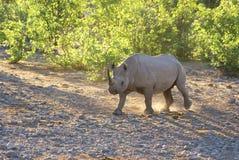 Rhinocéros marchant à l'aube Image libre de droits