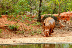 Rhinocéros marchant dans le zoo Photo libre de droits
