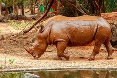 Rhinocéros marchant dans le zoo Image stock