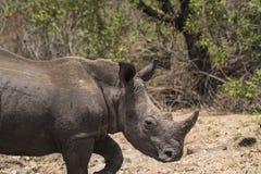Rhinocéros, rhinocéros, marchant pour redresser, avec le klaxon de rhinocéros clairement évident photo libre de droits