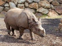 Rhinocéros marchant sur la terre Images stock