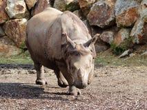 Rhinocéros marchant vers l'appareil-photo Photos libres de droits