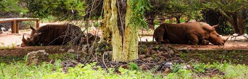 Rhinocéros mis en danger Images libres de droits