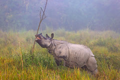 Rhinocéros mis en danger indien dans le ressortissant Parc de Kaziranga image libre de droits