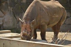 Rhinocéros noir Photos libres de droits