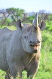 Rhinocéros noir Images stock