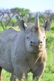 Rhinocéros noir Photographie stock