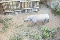 Rhinocéros noir agité étant maintenu dans une clôture photo libre de droits