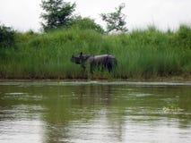 Rhinocéros noir après Bath en parc national de Chitwan Photos libres de droits