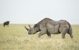 Rhinocéros noir (bicornis de Diceros) en Tanzanie Image libre de droits