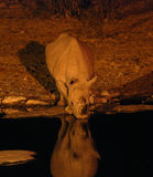 Rhinocéros noir buvant la nuit Photo libre de droits