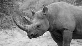 Rhinocéros noir dans Bush africain photo libre de droits