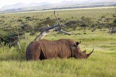Rhinocéros noir dans la garde de Lewa, Kenya, Afrique frôlant sur l'herbe Images stock