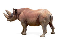 rhinocéros noir de diceros de bicornis Photo libre de droits