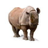 rhinocéros noir de diceros de bicornis Photo stock