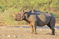 Rhinocéros, noir - fond de faune de rare et espèce menacée, Afrique Photographie stock libre de droits
