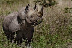 Rhinocéros noir mâchant l'acacia épineux Photo libre de droits