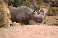Rhinocéros noir oriental Photo libre de droits