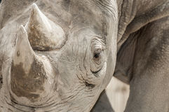 Rhinocéros noir oriental (michaeli de bicornis de Diceros) Photographie stock
