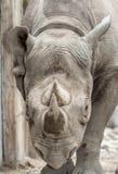 Rhinocéros noir oriental (michaeli de bicornis de Diceros) Photo stock