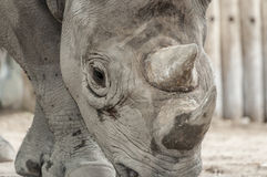 Rhinocéros noir oriental (michaeli de bicornis de Diceros) Photographie stock libre de droits