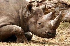 Rhinocéros noir se couchant Photo libre de droits