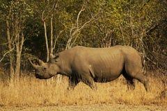 Rhinocéros noir sur une mission Photographie stock