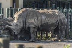 Rhinocéros près de barrière dans la soirée ensoleillée images libres de droits