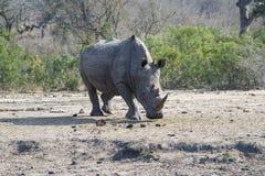 Rhinocéros recherchant l'herbe verte photo stock