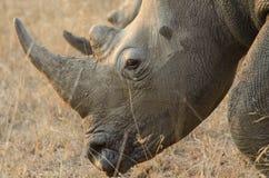 Rhinocéros, rhinocéros Photographie stock