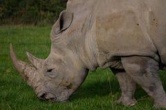 Rhinocéros, rhinocéros, Rhinocerotidae, frôlant Photo stock
