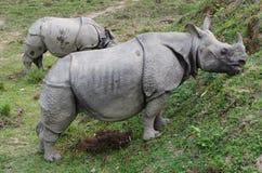 Rhinocéros sauvage au Népal Images stock