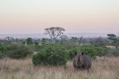 Rhinocéros se tenant dans l'herbe au coucher du soleil images libres de droits