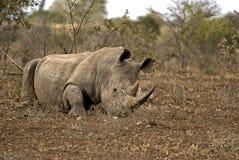 Rhinocéros se trouvant au sol Photographie stock libre de droits