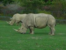 Rhinocéros semblant moyen comme ils regardent fixement Photo libre de droits