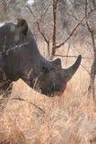 Rhinocéros sud-africain photo stock
