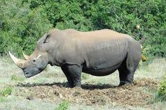 Rhinocéros sur la toilette Images stock