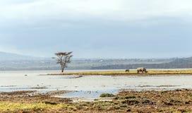Rhinocéros sur le rivage d'un lac Photo stock